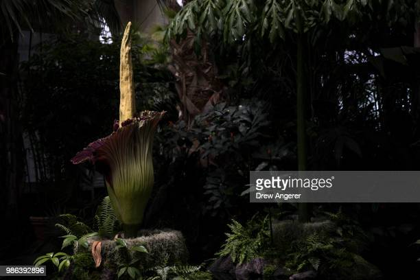 The 'corpse flower' stands in bloom at the New York Botanical Garden June 28 2018 in The Bronx borough of New York City The rare and odorous flower...