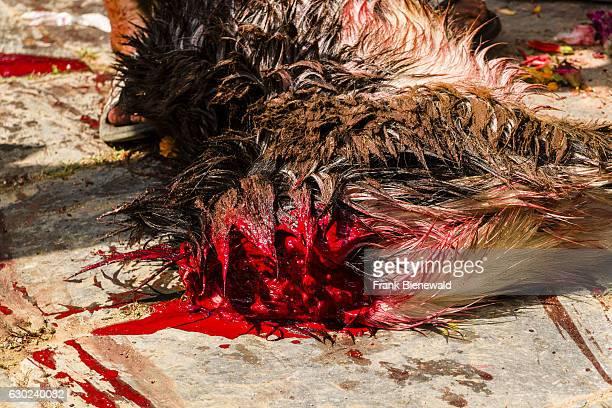 The corpse of a dead goat sacrificed to the gods at the temple Khadga Devi Mandir at the hinduist festival Darsain