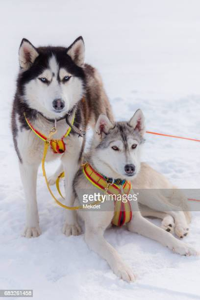 the couple of siberian husky dogsledding on frozen baikal lake, siberia, russia - dog sledding stock photos and pictures