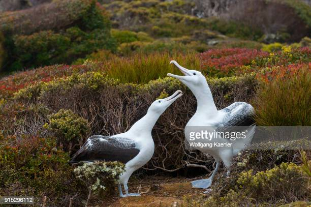 The courtship behavior of a pair of southern royal albatrosses on Enderby Island a subAntarctic Island in the Auckland Island group New Zealand