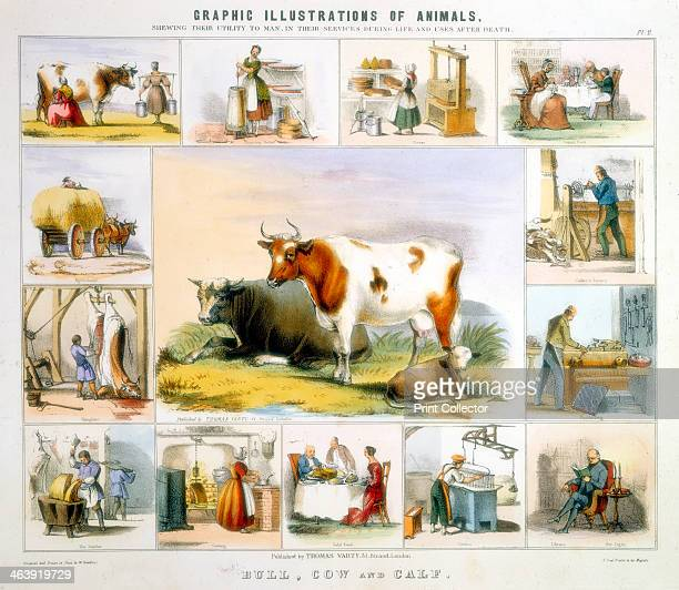 The Cow c1850 Around the central image are vignettes of the products of the cow from butter cheese milk meat candles cutlery handles and turned horn...