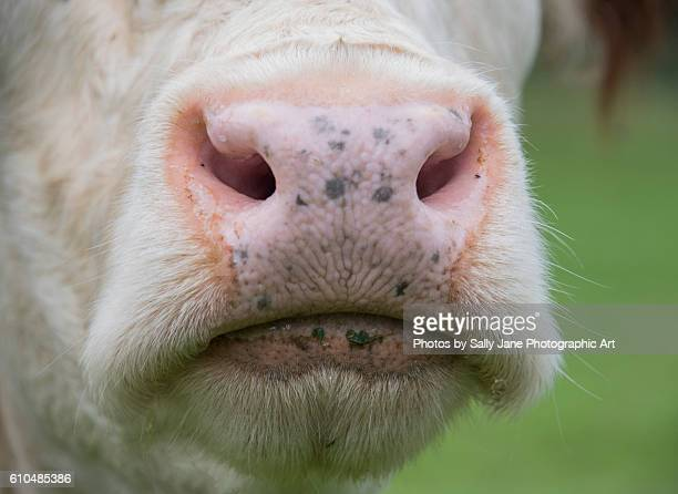 The cow's nose