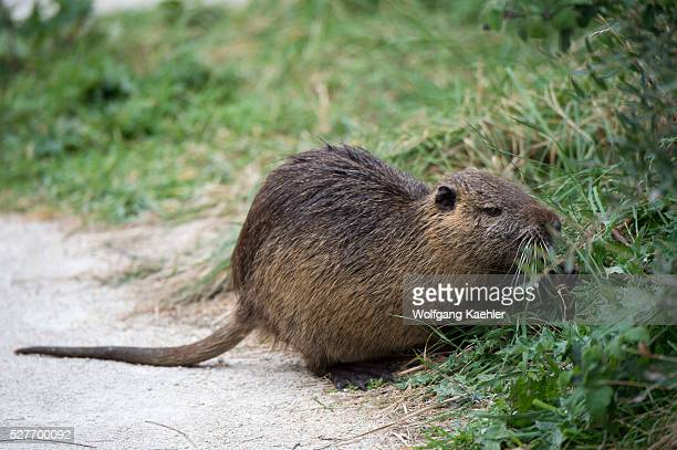 water rats stock photos and pictures | getty images