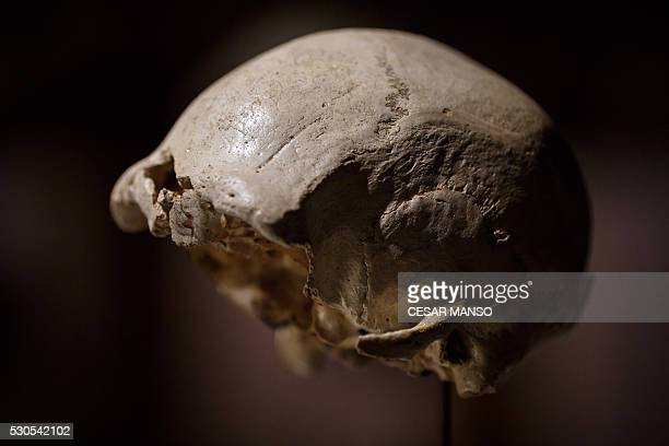The craneum of an adult Homo heidelbergensis, an extinct species of the genus Homo, dubbed 'Skull 4' is displayed at the Museum of Human Evolution in...