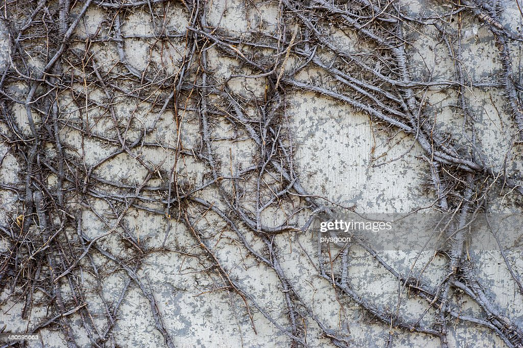 The creeper on stone wall, abstract grunge background : Stock Photo