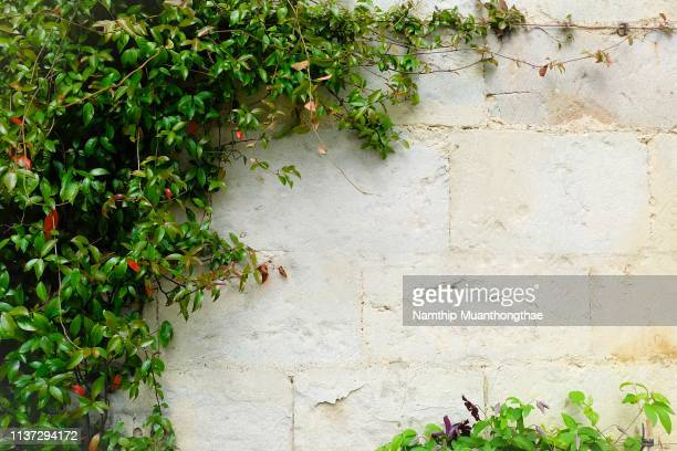the creeping plants on the vintage wall with the large space for being a background. - edera foto e immagini stock