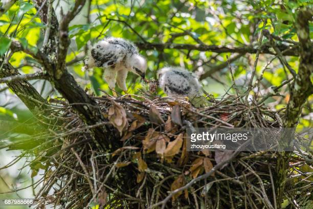 the crested goshawk and their babies - hawk nest foto e immagini stock