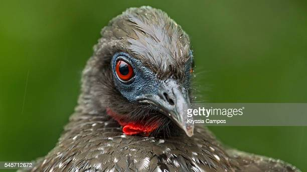 The crested guan (Penelope purpurascens)