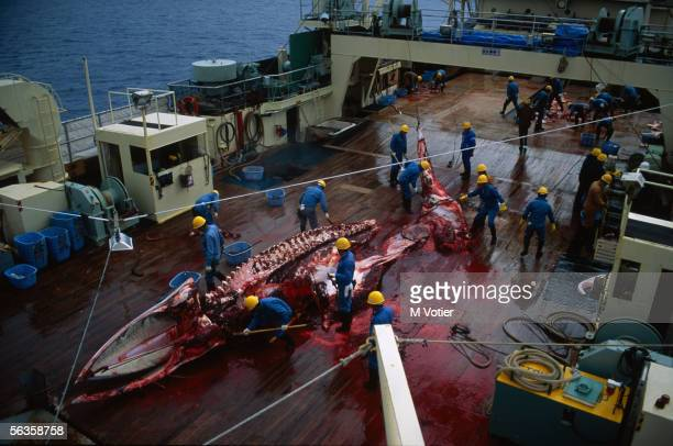 The crew of a Japanese whaling vessel carry out scientific research in the Antarctic 1993 The stripped carcass of a whale lies on the deck in a pool...