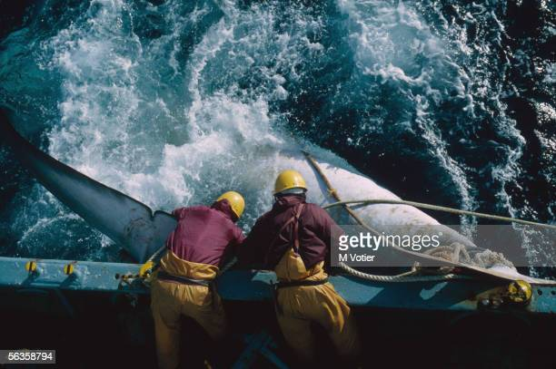 The crew of a Japanese whaling vessel drag an injured whale to the side of the ship during a scientific research mission in the Antarctic 1993