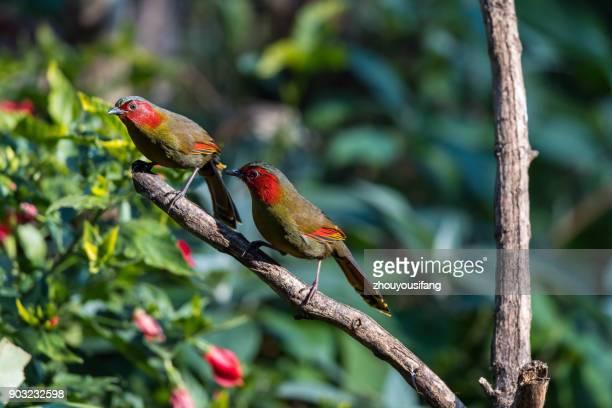 the crimson-winged liocichla bird - provinz yunnan stock-fotos und bilder