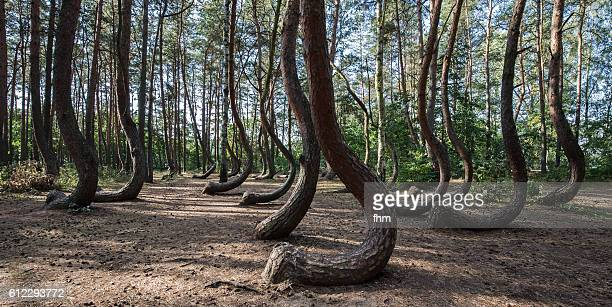 the crooked forest (polish: krzywy las), a grove of oddly-shaped pine trees - torto imagens e fotografias de stock