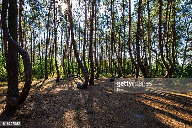 The Crooked Forest (Polish: Krzywy Las), a grove of oddly-shaped pine trees
