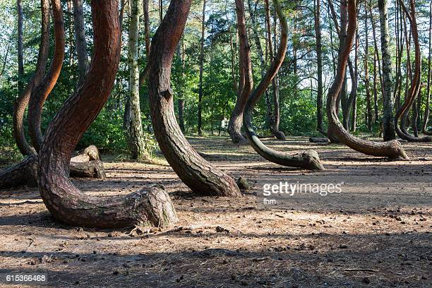 the crooked forest (polish: krzywy las), a grove of oddly-shaped pine trees, poland - torto imagens e fotografias de stock