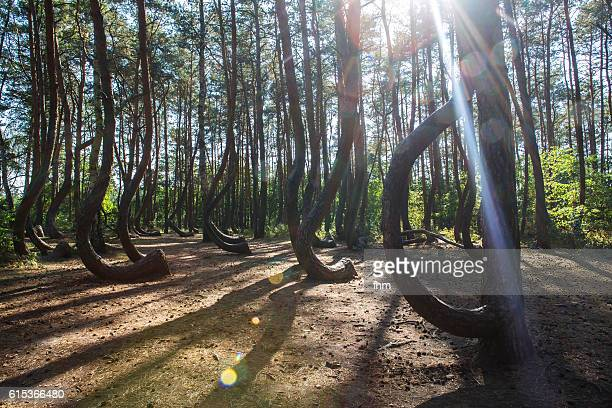 The Crooked Forest (Polish: Krzywy Las), a grove of oddly-shaped pine trees, Poland