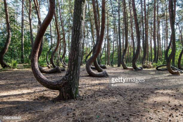 the crooked forest (polish: krzywy las) with oddly-shaped pine trees (poland/ west pommerania) - tilt stock pictures, royalty-free photos & images