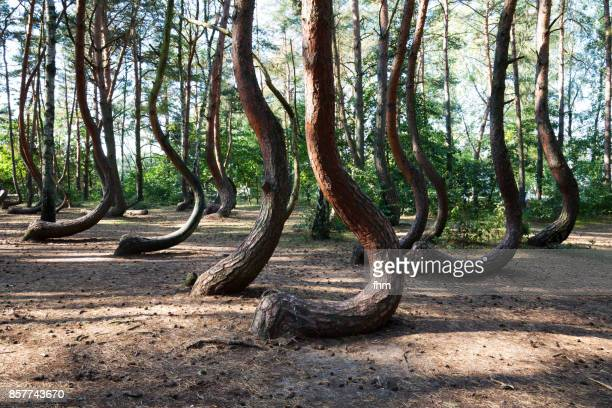 the crooked forest (polish: krzywy las) with oddly-shaped pine trees (poland/ west pommerania) - torto imagens e fotografias de stock