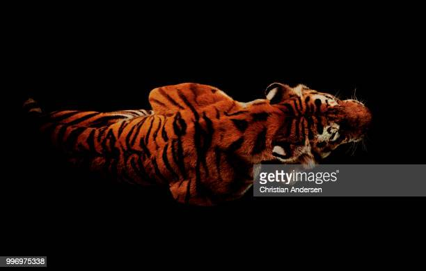 the crouching tiger - big cat stock pictures, royalty-free photos & images