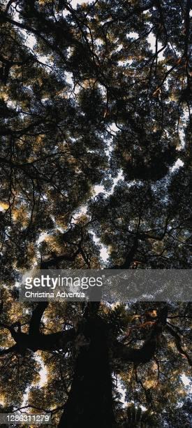 the crown shyness phenomenon - light natural phenomenon stock pictures, royalty-free photos & images