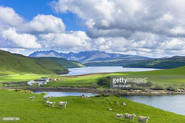 The Cuillin mountain range with croft farm sheep and Loch Harport near Coillure on Isle of Skye in the Highlands and Islands of Scotland