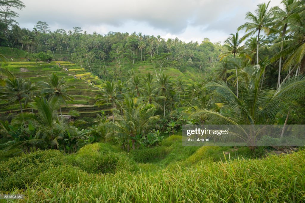 the cultural village of Ubud is an area known as Tegallalang that boasts the most dramatic terraced rice fields in all of Bali in Indonesia. : Stock Photo