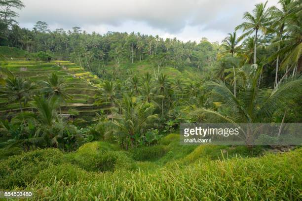 the cultural village of Ubud is an area known as Tegallalang that boasts the most dramatic terraced rice fields in all of Bali in Indonesia.