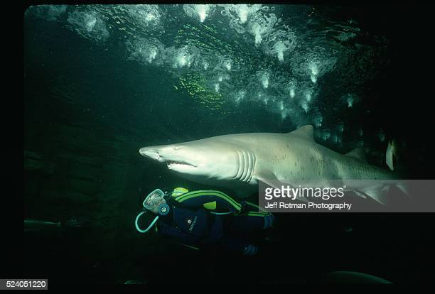 The curator of Ocean World in Australia swims with a large Sand Tiger Shark.   Location: Ocean World, Sydney, Australia.
