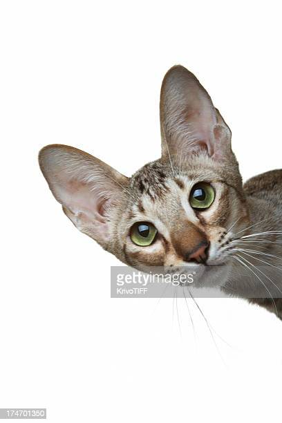 the curious oriental cat - shorthair cat stock pictures, royalty-free photos & images