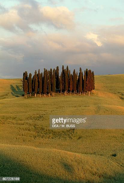 The cypresses of San Quirico d'Orcia Val d'Orcia Tuscany Italy