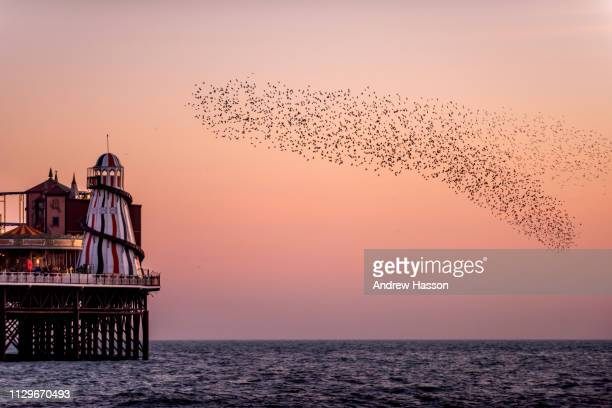 The daily evening murmuration of starlings before roosting underneath the Palace Pier on February 14 2019 in Brighton England