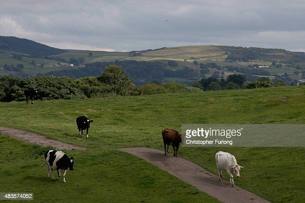 The dairy herd of farmer Mike Gorton make their way home for milking at his farm near Macclesfield in Cheshire on August 10 2015 in Macclesfield...