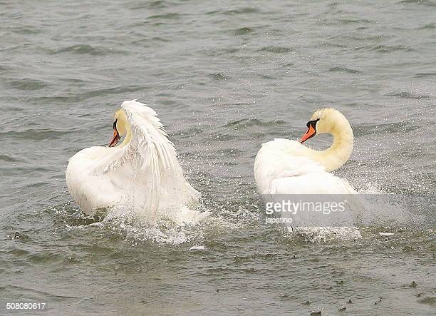 the dance of the swans