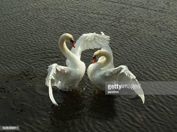 the dance of the swans - tierpaarung stock-fotos und bilder