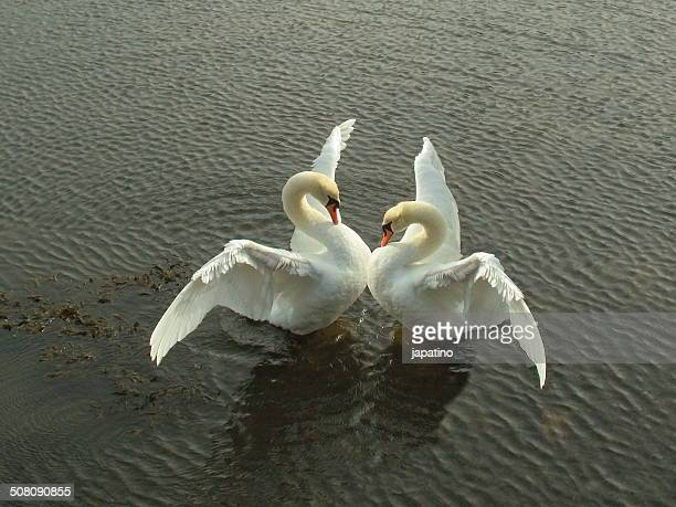 the dance of the swans - accoppiamento animale foto e immagini stock
