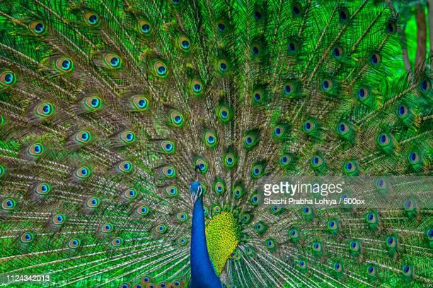 The Dancing Peacock