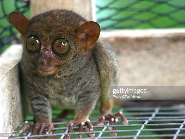 the dancing tarsier - tarsier stock photos and pictures