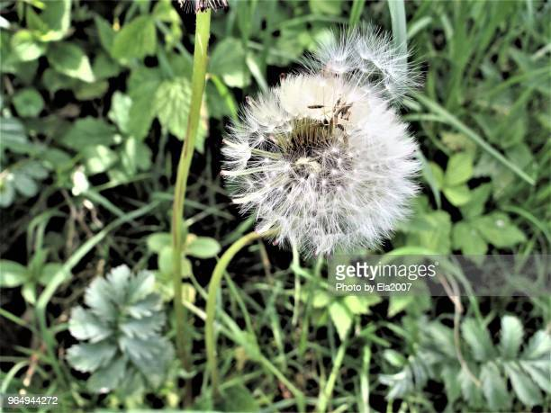 The dandelion is waiting for the wind or storm
