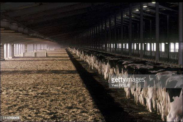 The Danone Al Safi dairy farm weaning calves Considered the largest farm in the world its aim is to be entirely self sufficient Founded by Prince...