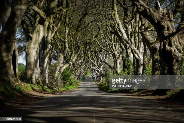 the dark hedge is a scenic avenue in northern ireland - film stock pictures, royalty-free photos & images
