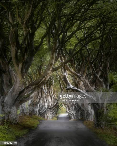 the dark hedges, ballymoney, county antrim, northern ireland, united kingdom - beech tree stock pictures, royalty-free photos & images