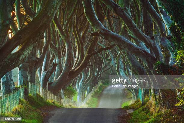 the dark hedges in county antrim, northern ireland - county antrim stock pictures, royalty-free photos & images