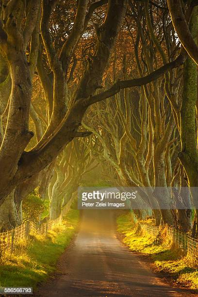 the dark hedges in northern ireland - county antrim stock pictures, royalty-free photos & images
