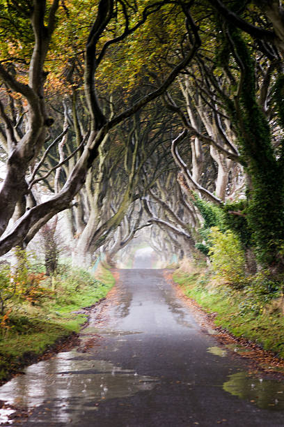 The Dark Hedges in the rain