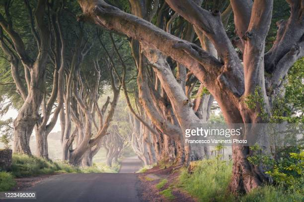 the dark hedges, northern ireland. - cultures stock pictures, royalty-free photos & images
