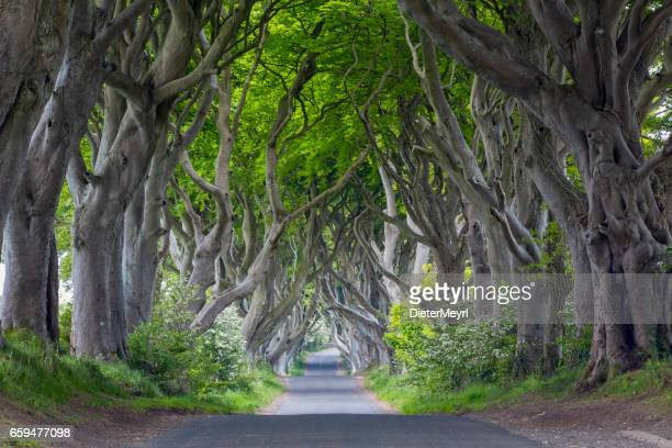 the dark hedges, northern ireland - beech tree stock pictures, royalty-free photos & images