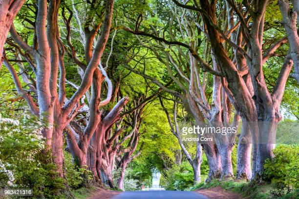 the dark hedges trees tunnel, county antrim, ulster region, northern ireland, united kingdom. - county antrim stock pictures, royalty-free photos & images
