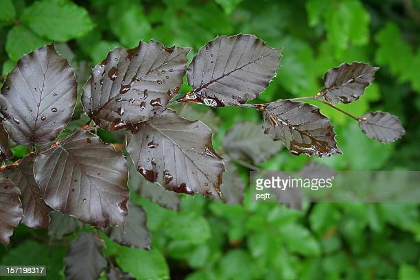 the dark leaves of a copper beech - pejft stock pictures, royalty-free photos & images