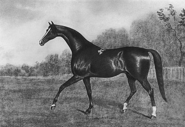 The Darley Arabian, one of three horses from whom all...