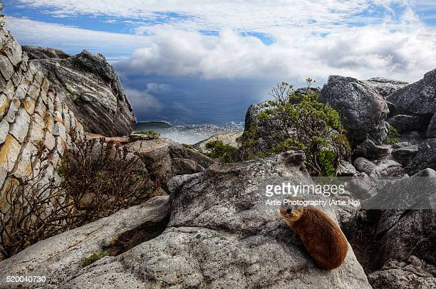 The Dassie Rat (Rock Hyrax) @ the Top of Table Mountain, Cape Town, Western Cape, South Africa