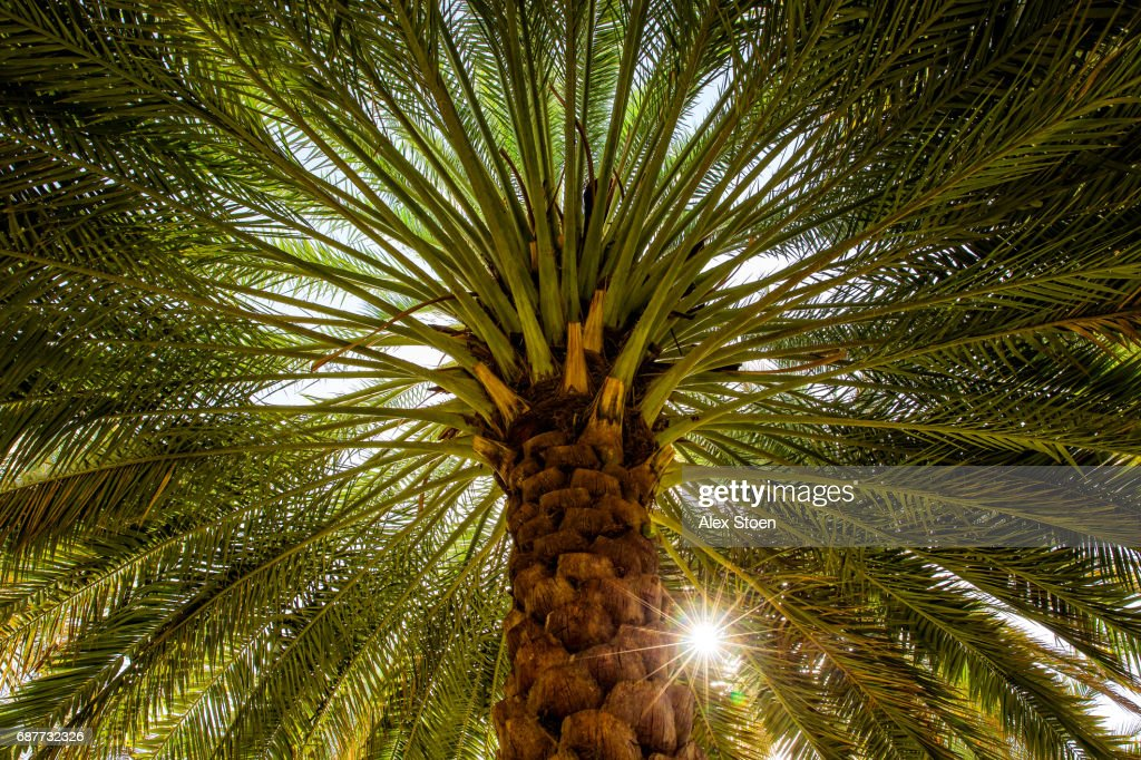 The date palm -  tree of life : Stock Photo